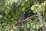Crested Serpent Eagle (Spilornis cheela) -- sabah_3820