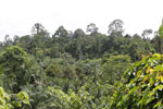 Oil palm plantation and forest in Borneo -- sabah_3830