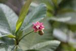 Pink flower -- sabah_3833