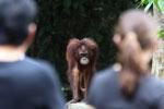Orangutan at Sepilok Rehabilitation Center -- sabah_3841