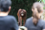 Orangutan at Sepilok Rehabilitation Center