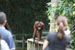 Orangutan at Sepilok Rehabilitation Center -- sabah_3843