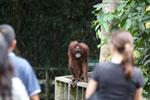 Orangutan at Sepilok Rehabilitation Center -- sabah_3844