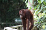 Orangutan at Sepilok Rehabilitation Center -- sabah_3847
