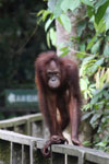 Orangutan at Sepilok Rehabilitation Center -- sabah_3850