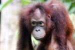 Borneo orangutan -- sabah_3851