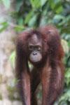 Borneo orangutan -- sabah_3852