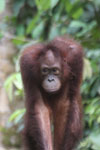 Borneo orangutan -- sabah_3853