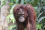 Borneo orangutan -- sabah_3855