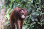Borneo orangutan -- sabah_3857