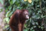 Borneo orangutan -- sabah_3858