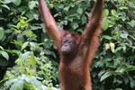 Borneo orangutan -- sabah_3860