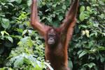 Borneo orangutan -- sabah_3861