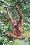 Borneo orangutan -- sabah_3862