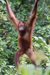 Borneo orangutan -- sabah_3865