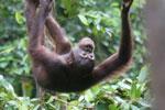 Borneo orangutan -- sabah_3868