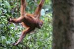 Borneo orangutan -- sabah_3871