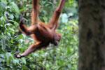 Borneo orangutan -- sabah_3872