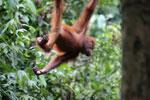 Borneo orangutan -- sabah_3873