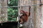Borneo orangutan at Sepilok Rehabilitation Center -- sabah_3875