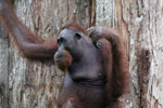 Borneo orangutan at Sepilok Rehabilitation Center -- sabah_3882