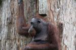Borneo orangutan at Sepilok Rehabilitation Center -- sabah_3884