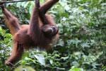 Borneo orangutan at Sepilok Rehabilitation Center -- sabah_3888