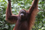 Borneo orangutan at Sepilok Rehabilitation Center -- sabah_3889