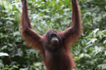 Borneo orangutan at Sepilok Rehabilitation Center -- sabah_3892