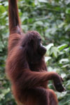 Borneo orangutan at Sepilok Rehabilitation Center -- sabah_3894