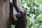 Borneo orangutan at Sepilok Rehabilitation Center -- sabah_3898
