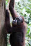 Borneo orangutan at Sepilok Rehabilitation Center -- sabah_3900