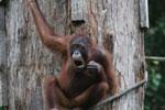 Borneo orangutan at Sepilok Rehabilitation Center -- sabah_3907