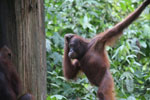 Borneo orangutan at Sepilok Rehabilitation Center -- sabah_3922