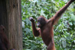 Borneo orangutan at Sepilok Rehabilitation Center -- sabah_3924