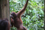 Borneo orangutan at Sepilok Rehabilitation Center -- sabah_3926