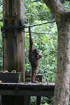 Borneo orangutan at Sepilok Rehabilitation Center -- sabah_3935