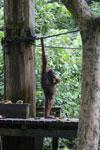 Borneo orangutan at Sepilok Rehabilitation Center -- sabah_3935