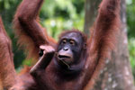 Borneo orangutan at Sepilok Rehabilitation Center -- sabah_3940