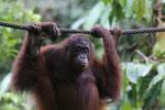 Borneo orangutan at Sepilok Rehabilitation Center -- sabah_3943