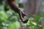 Borneo orangutan at Sepilok Rehabilitation Center -- sabah_3945
