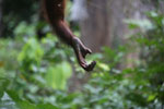 Borneo orangutan at Sepilok Rehabilitation Center -- sabah_3946