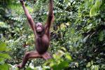 Borneo orangutan at Sepilok Rehabilitation Center -- sabah_3947