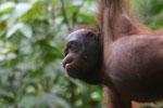 Borneo orangutan at Sepilok Rehabilitation Center -- sabah_3963