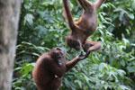 Pair of orphaned orangutans -- sabah_3964