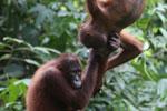Pair of orphaned orangutans -- sabah_3967