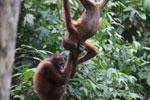 Pair of orphaned orangutans -- sabah_3968