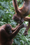 Pair of orphaned orangutans -- sabah_3970