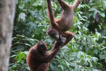 Pair of orphaned orangutans -- sabah_3972