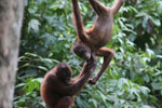 Pair of orphaned orangutans -- sabah_3973